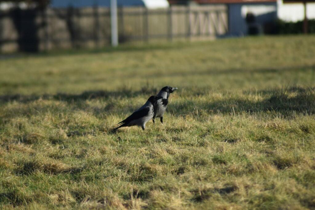 Et par Gråkrager (Corvus cornix) på rov i solskinnet. Mange er ikke så begejstret for kragefugle. Personligt synes jeg de passer strålende til den danske tøjfarve kultur. Dertil skal man også huske på at det er meget intelligente fugle. Naturen nær Bagsværd sø.