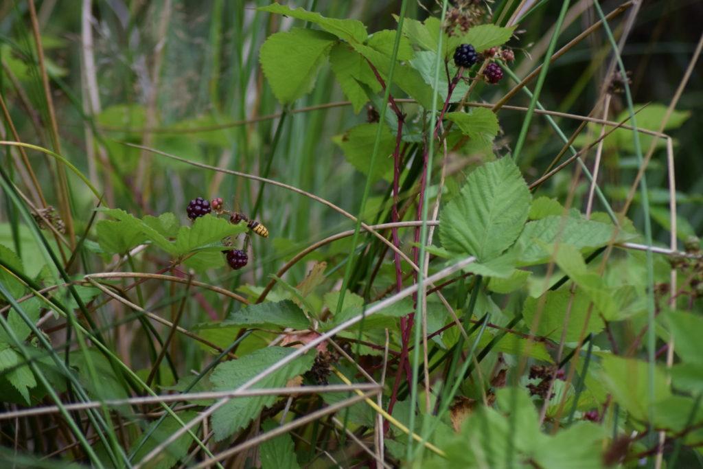 Jeg kender faktisk ikke dette relativt store årevingede insekt, men det havde travlt, og mener ikke jeg har set den før. Kom med et bud? P.S. den sidder i venstre midte ved brombærene (Rubus plicatus).