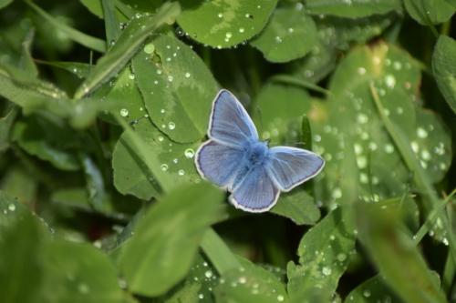 Almindelig blåfugl (Polyommatus icarus) på Rødkløver (Trifolium pratense) Nok en af de smukkeste sommerfugle vi har i Danmark. Denne er set på Amager ved kanalen der løber parallelt med kanalvej.