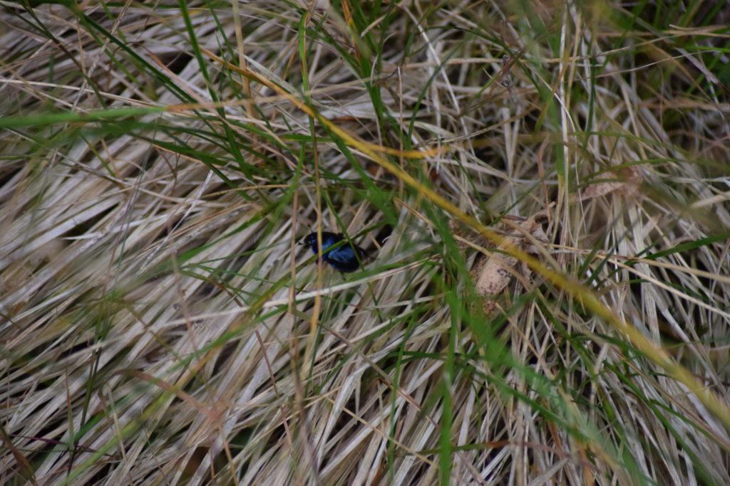 Skovskarnbasse (<em>Anoplotrupes stercorosus</em>) gemmer sig i græsset, oven over venter mange udhungrede fugle - lav profil er et must.