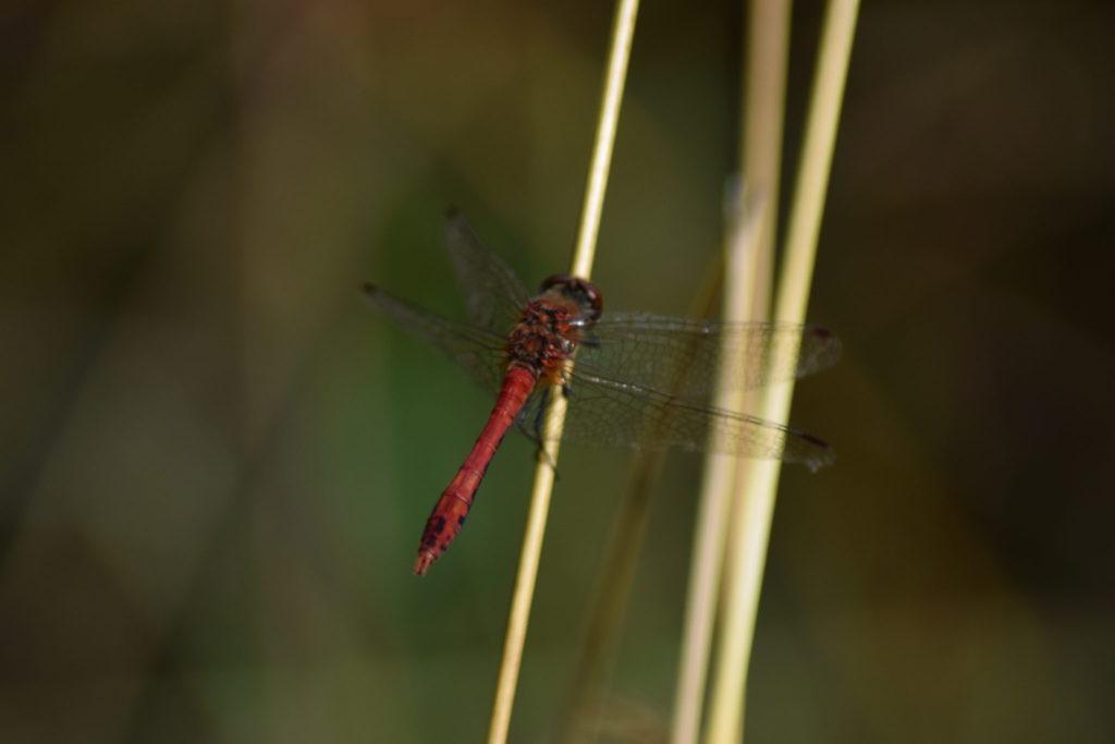 En smuk og fotogen guldsmed, den hedder Blodrød Hedelibel (Sympetrum sanguineum), og den blev ved at følge efter mig.
