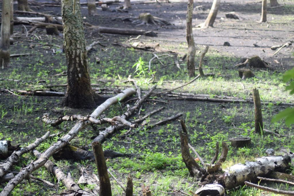 Skoven invadere den tørlagte Store Brænteljung sø.