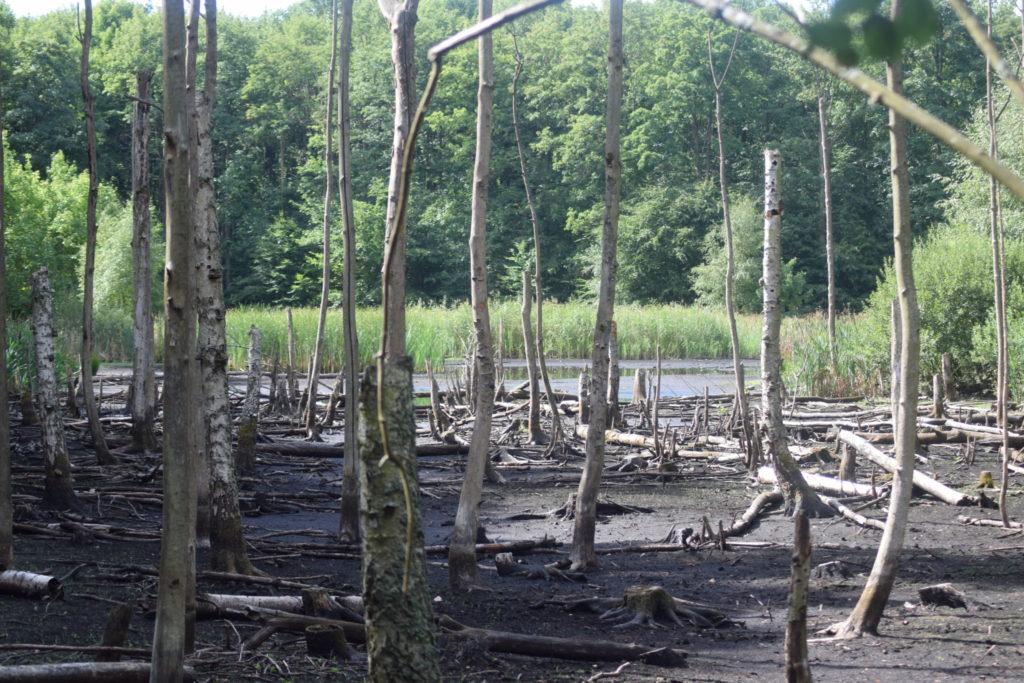 De døde elmetræer (Ulmus sp.) er normalt dækket af vand i Store Brænteljung.