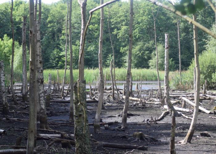 De døde elmetræer (Ulmus sp.) er normalt dækket af vand i Store Brænteljung sø.