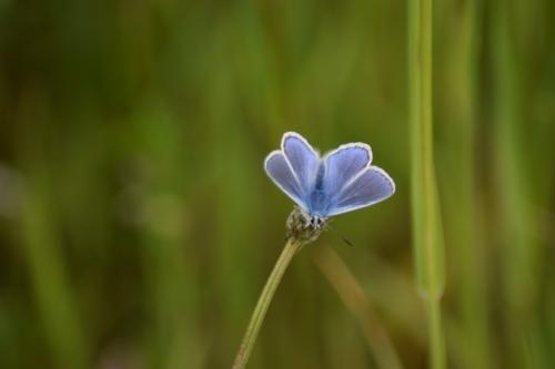 Almindelig blåfugl (Polyommatus icarus) nu med vingerne slået ud. Jeg elsker de smukke blå farver. Denne her har sig en hyggelig tilværelse ved kanalen der løber parallet med kanalvej på Amager.