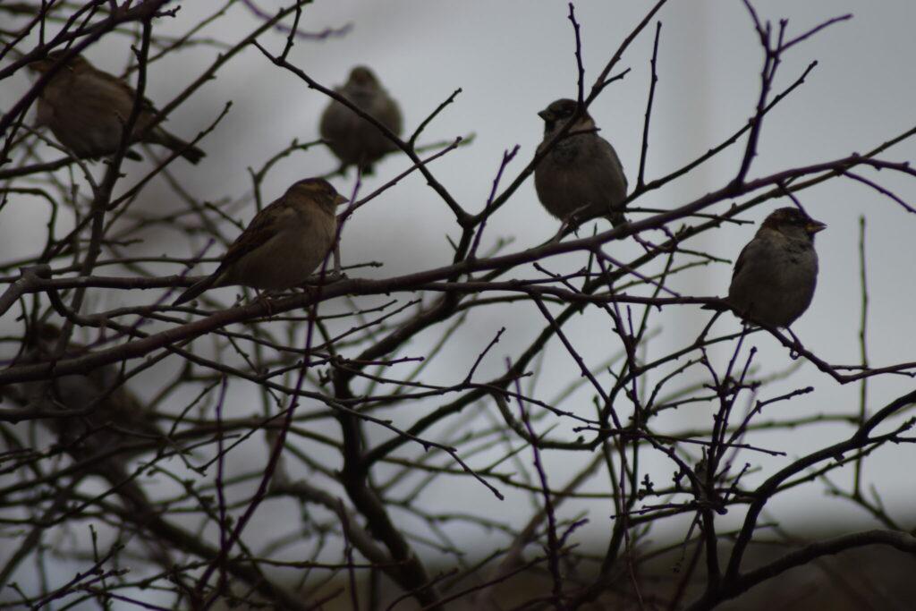 En flok Gråspurve (Passer domesticus) sidder i det gamle æbletræ i den lille gårdhave i Købstaden Stege. Der var mindst 50 individer.