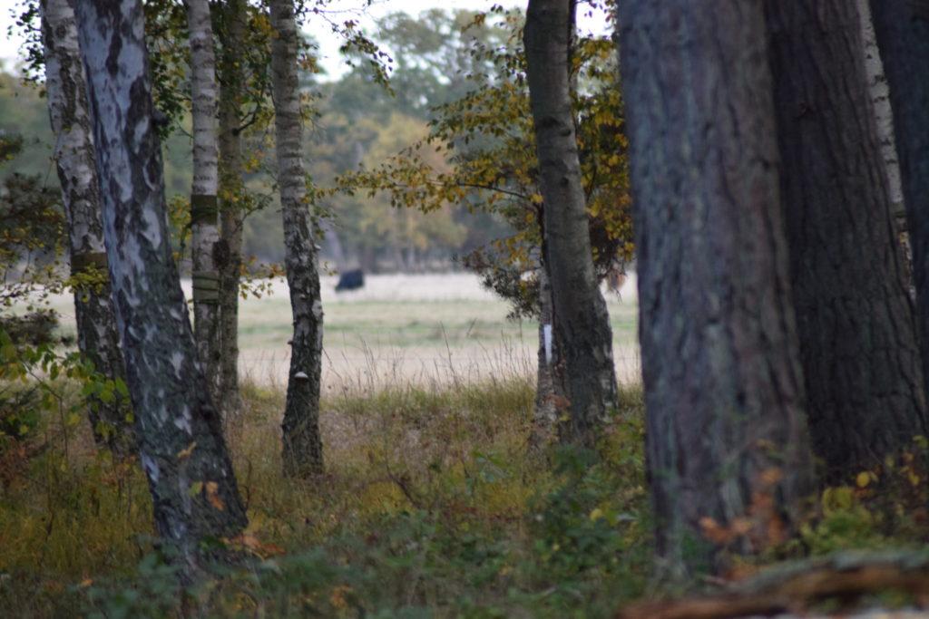 Oplev Møn, Ulvshale eng, Ulvshale skov, med birketræer (Betula sp.).