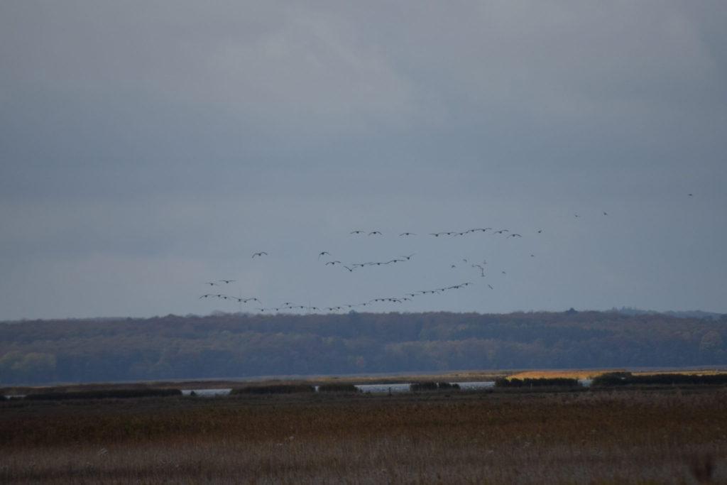 Fugletræk. Ulvshale har flere gode steder at observeret trækket. Oplev Møn.