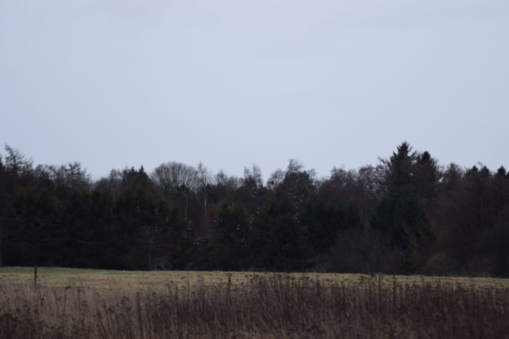 En flok Stære (Sturnus vulgaris) pryder januarhimlen på denne smukke vinterdag i naturen.