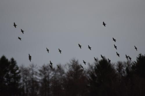 En flok Stære (Sturnus vulgaris) i silhuet på Flyvestation Værløses januarhimmel. Naturen er smuk.