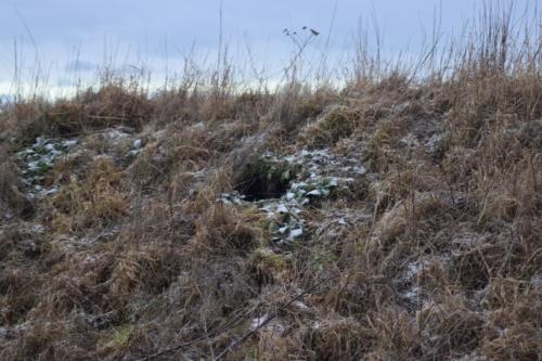 En Rævegrav afslører sig selv, mens vi går inde i Bombefoldene. Det er rævenes parringssæson, så der er mange nye huller herude i naturen.