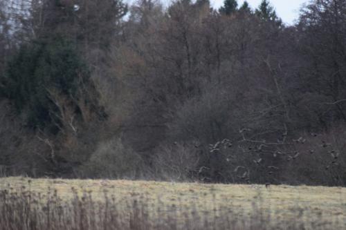 Flokken af Stære (Sturnus vulgaris) flyver livligt omkring på Flyvestation Værløse.