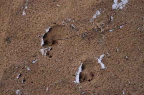 Friske Rævespor. Parringssæsonen er igang og rævene graver nye parringshuler alle steder i naturen.