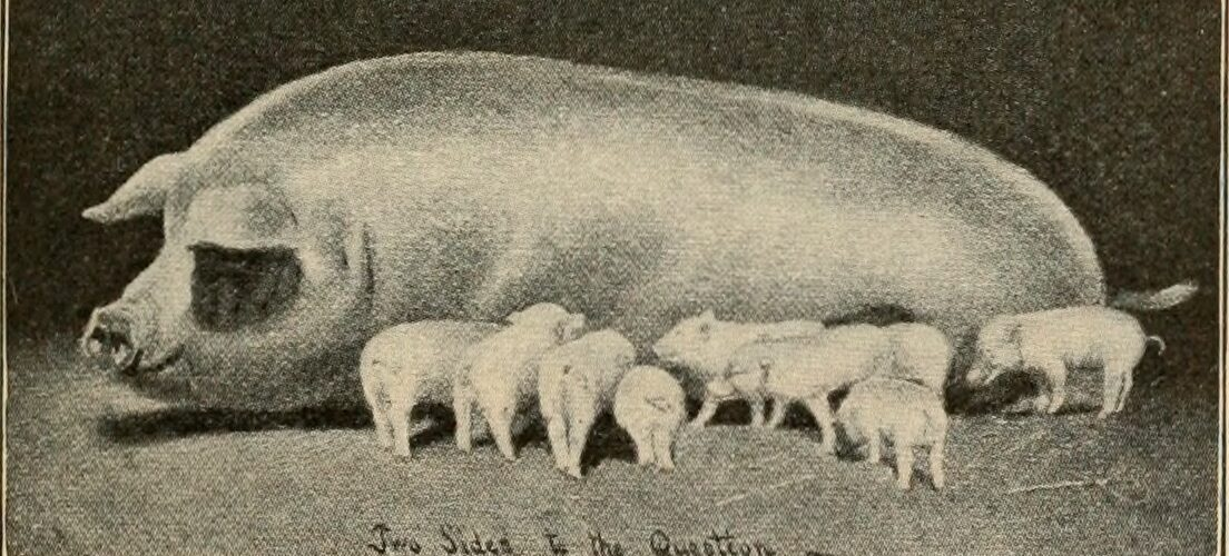Grise fodres med sojabønner (Glycine max). Disse sojabønner importeres fra Sydamerikanske lande som Agentina og Bracilien. Her fælder man regnskov for at etablere sojabønnemarker. Blog - Hverdagsaktivisme - Red regnskoven - spis mindre gris. Ildfugl.com