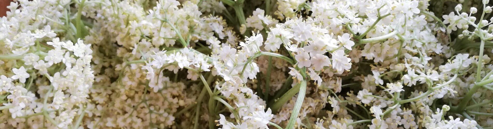 yld (Sambucus nigra) giver nogle skønne blomster. Disse blomster dufter godt, og kan bruges til en livsgivende drik - Hyldeblomstsaft! Mad og drikke - blog - Ildfugl.com.