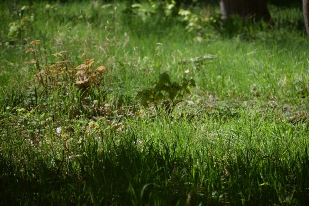 I overgangen fra eng til skov lever der mange sommerfugle. Her i lysningen på Bognæs, stod der flere Løgkarse (Alliaria petiolata) planter. Ser man godt efter, vil man lægge mærke til en han af Aurora (Anthocharis cardamines), som flyver rundt. Billedet er taget den 29 april 2019 af Zelina Elex Petersen. Aurora forvaltning. Forvaltning af Dagsommerfugle. Ildfugl.com