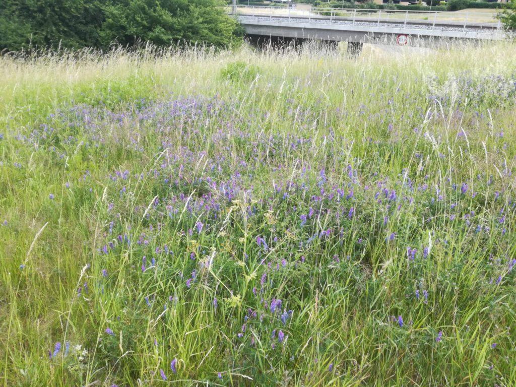 Musse-Vikke (Vicia cracca) i store mængder på den øverste del af terrænet på Baunesletten.