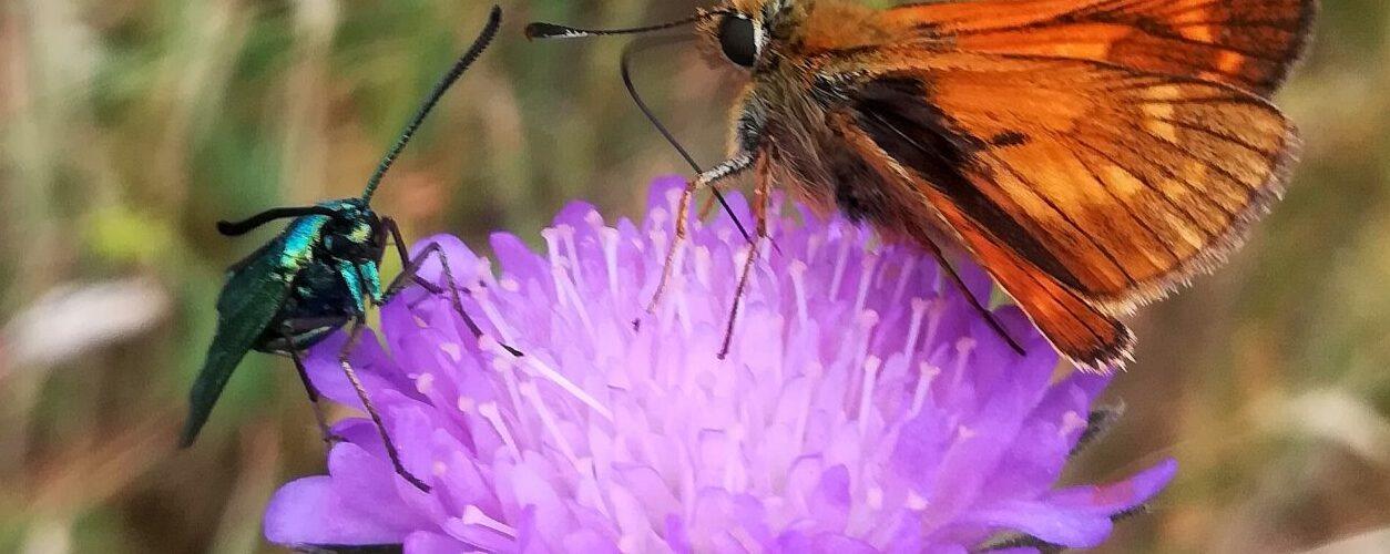 En Grøn Køllesværmer (Adscita statices) deler nektar fra en Blåhat (Knautia arvensis) med en Stor Bredpande (Ochlodes sylvanus). Alle tre almindelige arter. Pleje og støtte til Stor Bredpande. Forvaltning af Dagsommefugle. Ildfugl.com. Billedet er taget på Gretesholm i juni 2018 af Zelina Elex Petersen.