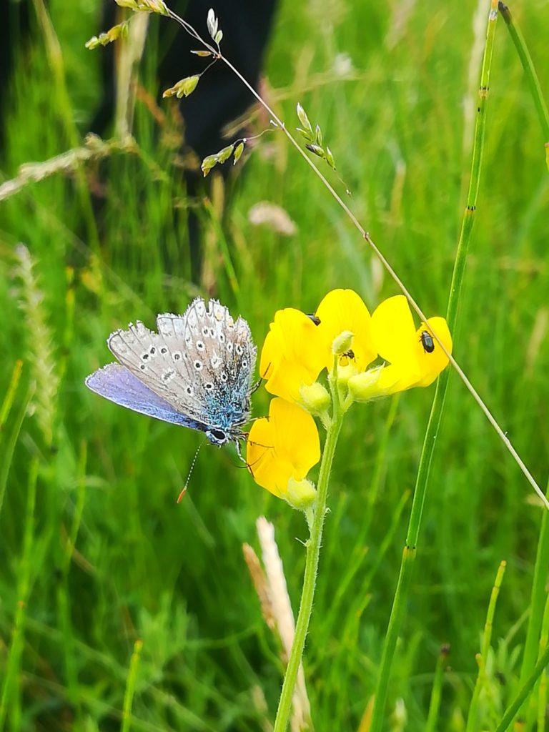 Natur omkring Farum sø. Naturoplevelser. Almindelig blåfugl <em>(Polyommatus</em> icarus) han på almindelig kællingetand (<em>Lotus</em> <em>corniculatus),</em> ved Gedevasebro. Den er meget slidt, men det er også sidst i dens sæsonen. Jeg kender desværre ikke de små biller, men de da fine med deres metalliske udseende.