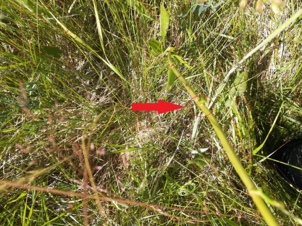 Naturen nær Farum sø - på jagt efter Violetrandet ildfugl. Den røde pil peger mod en lille hvid cirkel på Almindelig Syre (Rumex acetosa), det er et æg af Violetrandet Ildfugl (Lycaena hippothoe), set på Bauneseletten.