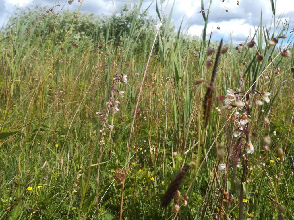 Øvre Mølle ådal. Skøn naturoplevelse ved Bastrupkæret, se lige den flotte vegetation med orkideer.