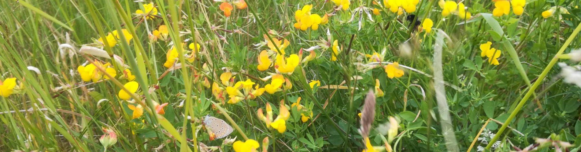 En stor klynge af Almindelig Kællingetand (Lotus corniculatus) på Flyvestation Værløse, midt i blomsterne sidder en sommerfugl Violetrandet Ildfugl (Lycaena hippothoe) sammen med en bi jeg ikke kender artsnavnet på.