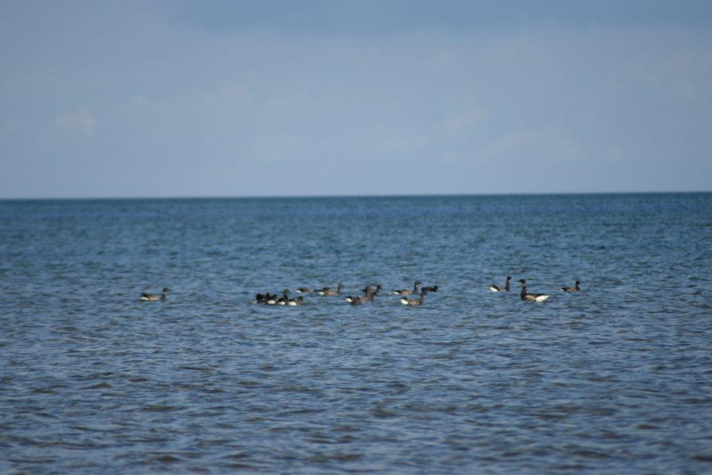 Kortegæs (Branta bernicla) holder pause i det lavt læggende vand og spiser lidt Ålegræs aka. Almindelig bændeltang (Zostera marina). Ulvshale Nordstrand, Oplev spændende Møn.