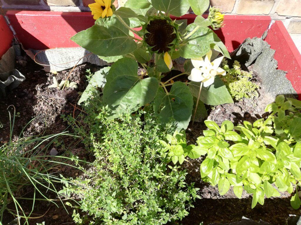 Mine krydderurter er blevet samlet for en stund. Jeg drømmer om et større og mere diversitets præget krydderurtebed. Den Persille, Basilikum, Timian og Purløg jeg har skal ikke være i denne kasse permanenet. De får deres eget bed i et andet hjørne, og så flytter der en klatreplante ind her. Haveblog - Min have sommeren 2020, Haveblog, Ildfugl.com