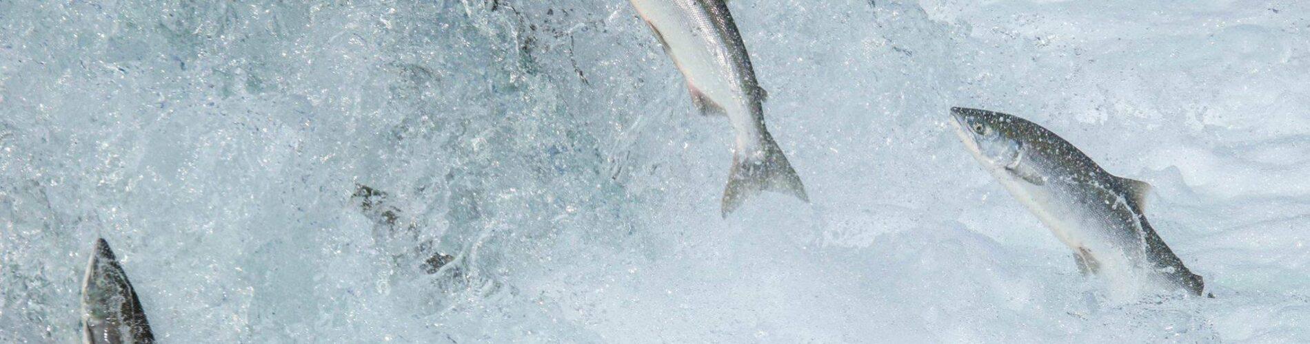 Atlantisk Laks (Salmo salar) på vej op for at gyde i flod. Der sker hver juni til november. Laksen yngler også i Danmark men ude for gyde sæsonen lever laksen i havet alene. Der bliver færre og færre Atlantiske Laks også kaldet vildlaks grundet overfiskning. Drop Laks - Værd god mod havet og din krop - Hverdagsaktivisme - Blog - Ildfugl.com