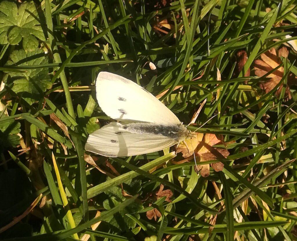Lille Kålsommerfugl (Pieris rapae), den er nu fin den lille og meget almindelig sommerfugl. Denne så vi nu ikke så mange af på Bognæs.
