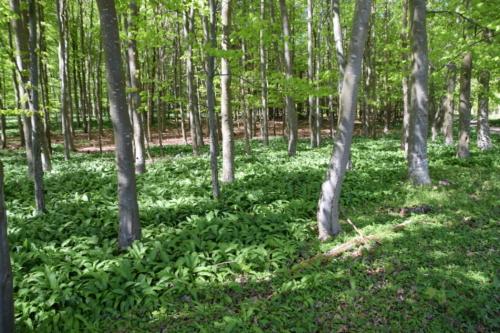 Løvskovensunderskov på Bognæs var fyldt med Ramsløg (Allium ursinum).