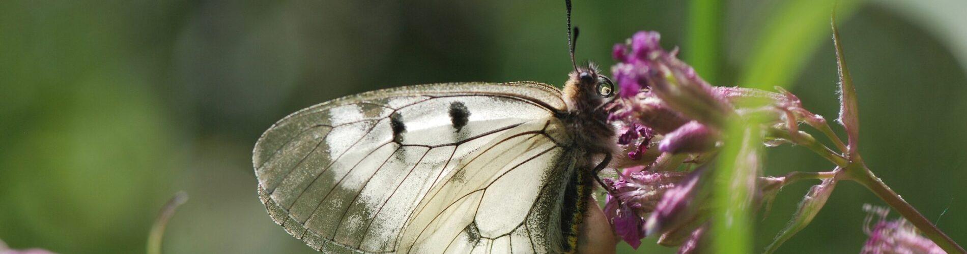 En hun af Mnemosyne (Parnassius mnemosyne). Billedet er taget af Klaus Hermansen i 2019 i Blekinge - Mnemosyne forvaltning - Forvaltning af Dagsommerfugle - Ildfugl.com.