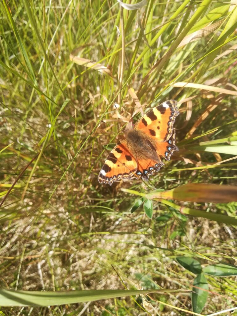 Nældens Takvinge (Aglais urticae) solbader på en samling græsstrå. De elsker varme, og de holder derfor til på steder med masser af sol. Solen er derfor et vigtigt element, hvis man planlægger at lave en have til sommerfuglen. Billedet er taget på Baunesletten i juni 2019 af Zelina Elex Petersen. Beskyttelse af Nældens Takvinge. Beskyttelse af Dagsommerfugle. Ildfugl.com