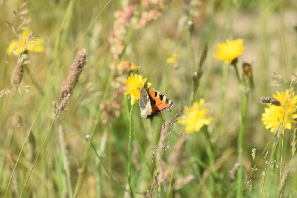 Nældens Takvinge (Aglais urticae) på Almindelig Kongepen (Hypochoeris radicata). Beskyttelse af Nældens Takvinge. Beskyttelse af Dagsommerfugle. Ildfugl.com