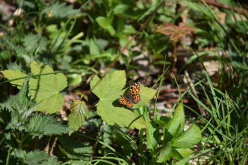 Nældesommerfugl (Araschnia levana) hygger sig i overgangen fra eng til skov på Bognæs.