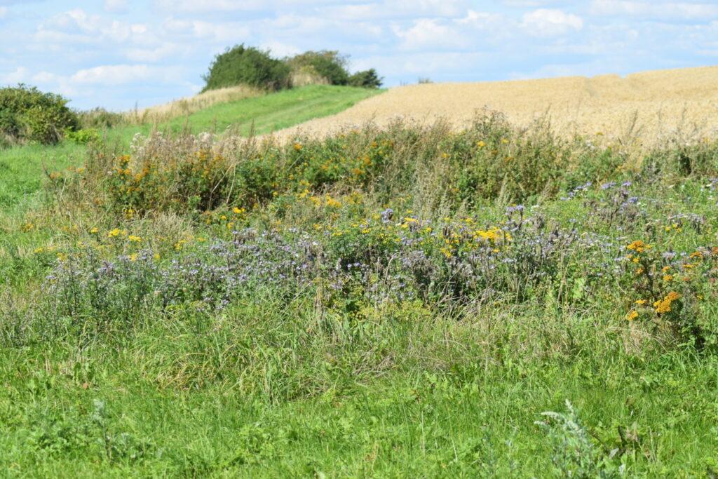 Et dejligt blomster virvar tæt ved mark på Nyord. Her oplevede jeg mange Græsrandøjer i sommeren 2018. Billedet er taget den 5 august 2018 på Nyord af Zelina Elex Petersen. Beskyttelse af Græsrandøje. Beskyttelse af dagsommerfugle. Ildfugl.com.