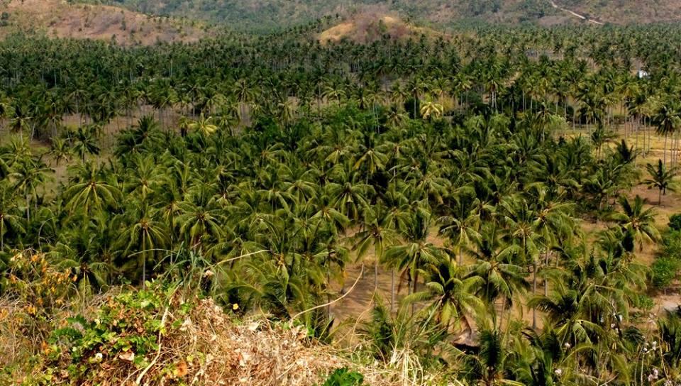 Palmeplatager skyder op i Indonesien og Malaysia. Her Brændes regnskov for at etablere plantagerne. Køberen af Palmeolien er især de vestlige lande - Her inkluderet Danmark. Fra Ildfugl.com, Blog, Hverdagsaktivisme, Pas på palmeolien i din mad.