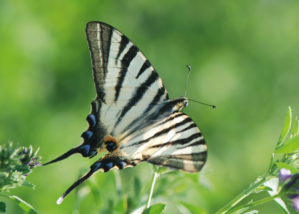 Sydeuropæisk Svalehale (Iphiclides podalirius) en nær slægtning til Svalehale (Papilio machaon Linnaeus). Svalehale forvaltning - Forvaltning af Dagsommerfugle - Ildfugl.com. Billedet er taget af Klaus Hermansen, på Kreta år 2014.