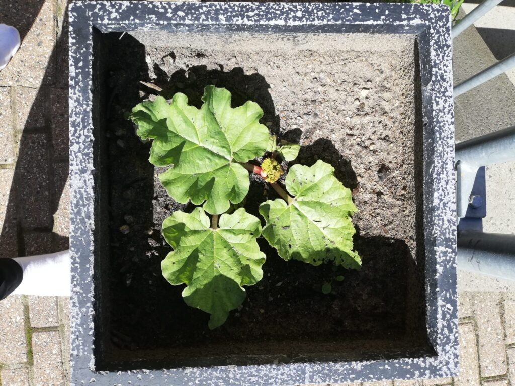 Min Haverabarber (Rheum rhabarbarum) er kommet i ny potte. Den er begyndt at vokse frem. Nu skal jeg finde den en masse næring til den, så den kan blive kæmpe til næste år. Haveblog - Min have sommeren 2020, Ildfugl.com.