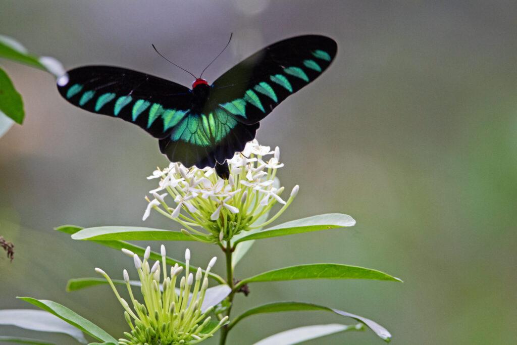 Trogonoptera brookiana eller Rajah Brooke's birdwing er en af de sommerfugle der lever i regnskoven i Malaysia, som får ødelagt sine levesteder. Fra Ildfugl.com, Blog, Hverdagsaktivisme, Pas på palmeolien i din mad.