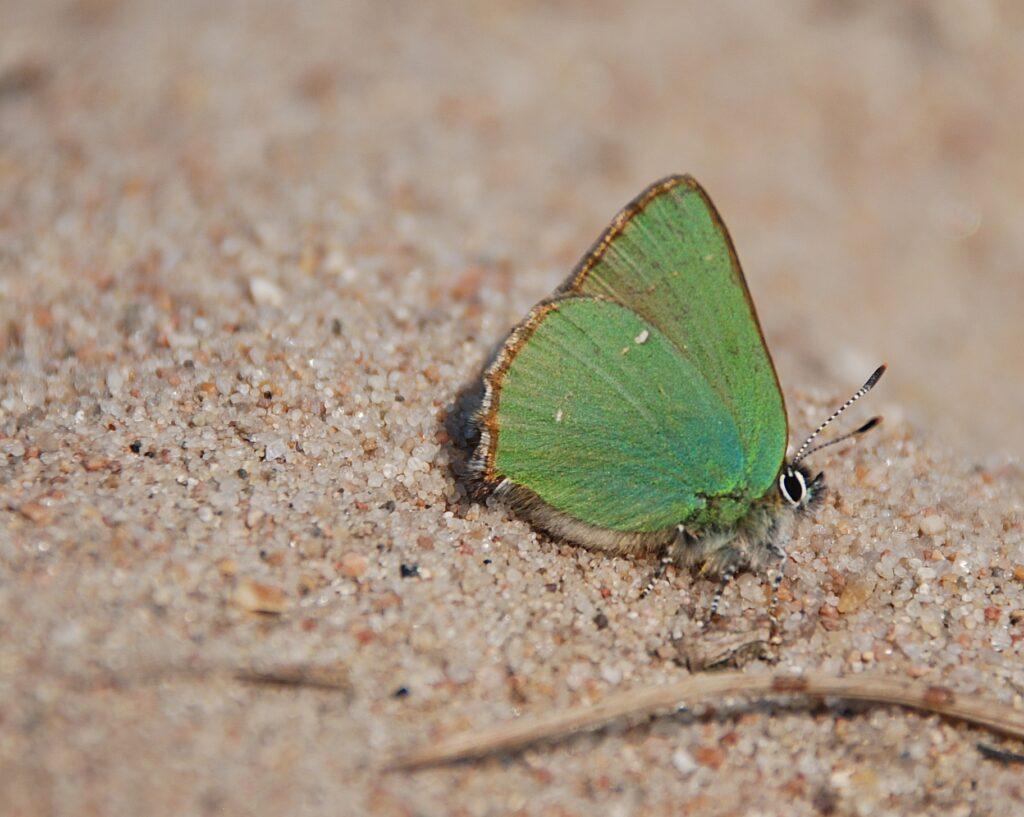 Grøn Busksommerfugl (Callophrys rubi) på sand, hvor den solbader. Billedet er taget ved Melby overdrev i 2018 af Klaus Hermansen. Beskyttelse af Grøn busksommerfugl. Beskyttelse af dagsommerfugle. Ildfugl.com.