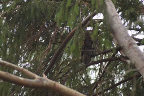 Skovhornugle (Asio otus) set bagfra.
