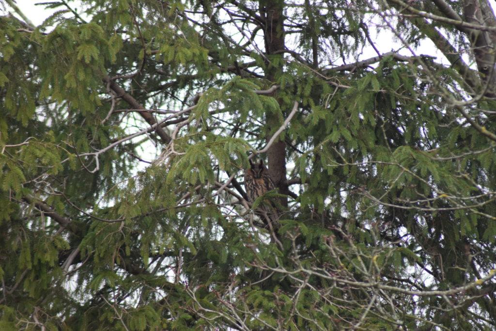 ovhornugle (Asio otus) tager sig en lur i den lille gran. Flyvestation Værløse er et godt sted at se på rovfugle i naturen.