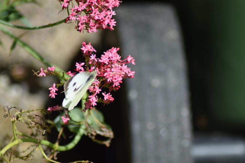 Stor Kålsommerfugl (Pieris brassicae) hun på haveplante. Man oplever tit Stor Kålsommerfugl i haver, ikke kun pga. kålplanter, men også fordi her er masser af gode stauder, som den kan suge nektar på. Billedet er taget i Jonstrup 2016 af Zelina Elex Petersen. Beskyttelse af Stor Kålsommerfugl. Beskyttelse af dagsommefugle. Ildfugl.com.