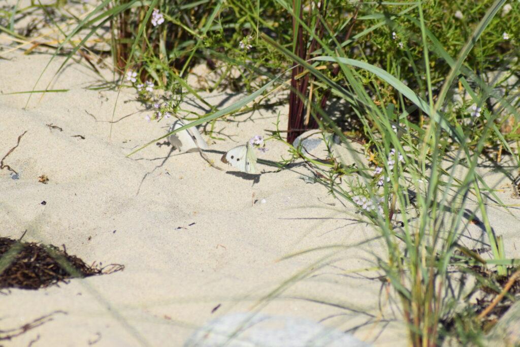 Stor Kålsommerfugl (Pieris brassicae) Hun på Østersø-Strandsennep på Ulvshale strand. Dette er igen en vild plante, som arten benytter som nektarplante. Billedet er taget 2017 på Ulvshale stand på Møn af Zelina Elex Petersen. Beskyttelse af Stor Kålsommerfugl. Beskyttelse af dagsommefugle. Ildfugl.com.