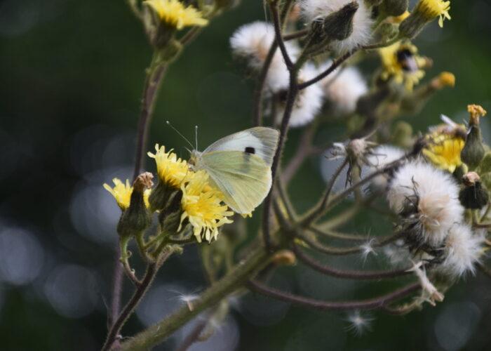 Stor Kålsommerfugl (Pieris brassicae) hun på Klæbrig Brandbæger (Senecio viscosus). Arten har mange nektarplanter, dette er en af de vilde, som mange andre dagsommerfugle også bruger. Billedet er taget i juli 2020 i Brønshøj af Zelina Elex Petersen. Beskyttelse af Stor Kålsommerfugl. Beskyttelse af dagsommefugle. Ildfugl.com.