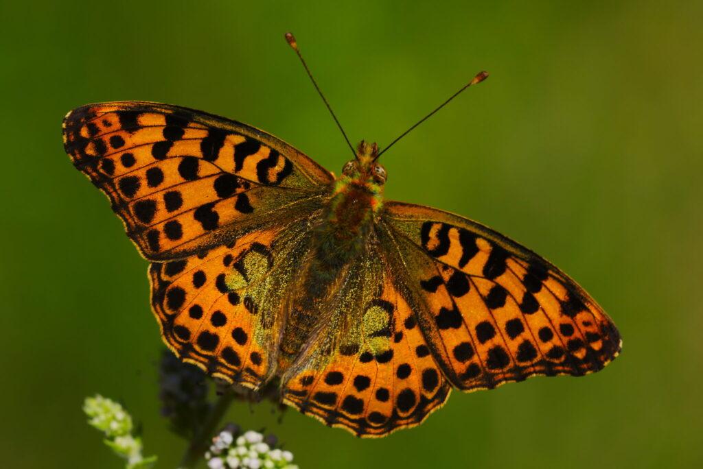 Storplettet perlemorsommerfugl (Issoria lathonia). Denne meget smukke og meget store sommerfugl (35 - 48 mm), så vi mange af på en enkelt strækning i skoven. Desværre ville de ikke sidde stille (og i privat skov må man ikke forlade stien), så jeg fik ikke et billede. Derfor er det her et billede taget af Jose Delgar fra flicker.