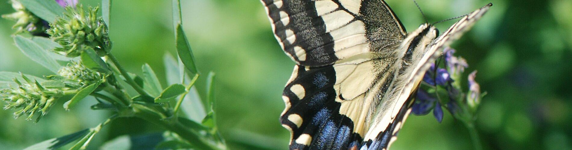 """Svalehale (Papilio machaon Linnaeus) i sin karakteristiske lysegule farve, med netmønsteret på vingerne og de to """"haler"""" som har givet arten sit navn. Svalehale forvaltning - Forvaltning af Dagsommerfugle - Ildfugl.com. Billedet er taget af Klaus Hermansen, på Kreta år 2014."""