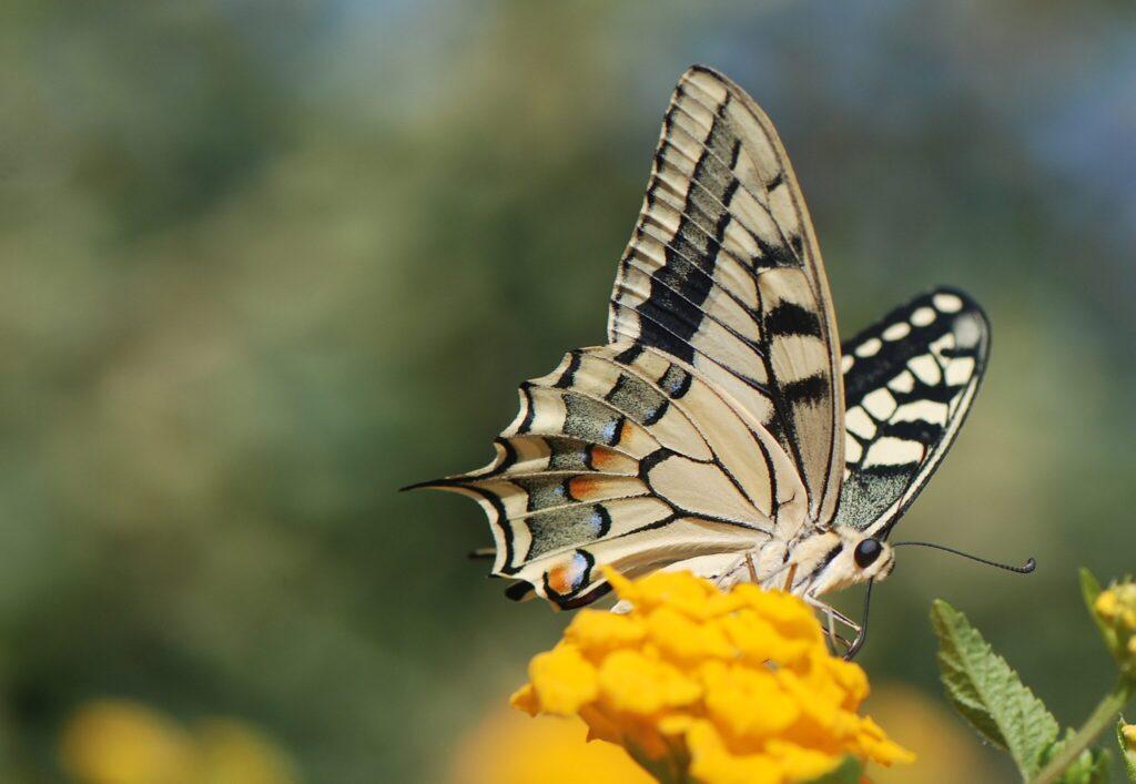 Svalehale (Papilio machaon Linnaeus) set forfra, mens den suger nektar på en sydeuropæisk blomst. Svalehale forvaltning - Forvaltning af Dagsommerfugle - Ildfugl.com. Billedet er taget af Klaus Hermansen, på Kreta år 2014.