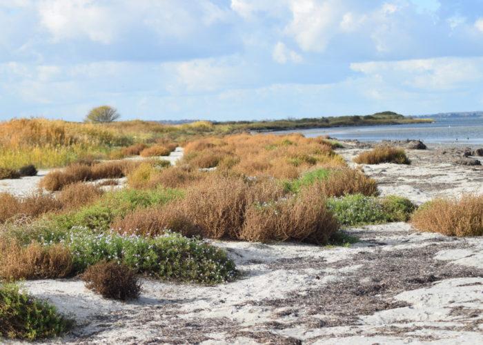 Vegetationen langs stranden har meget af den Almindelige Sodaurt (Salsola kali) og Østersø-Strandsennep (Cakile maritima ssp. baltica). Ulvshale Nordstrand, Oplev spændende Møn.